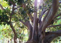 alberi secolari in Sicilia